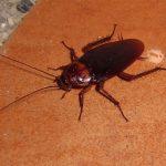 Amerikan Hamamböceği