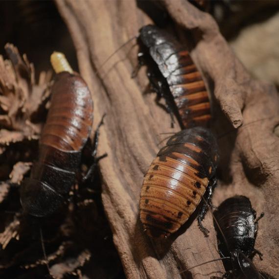 Alman Hamamböceği